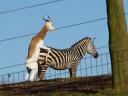 antelope-hump